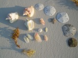 No shell collecting in the Parks - one of these is a tellin